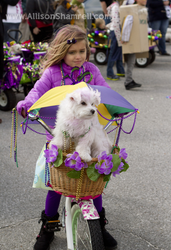 Pensacola Beach dogs pets parade Kritter Krawl Mardi Gras dog in basket bicycle bike