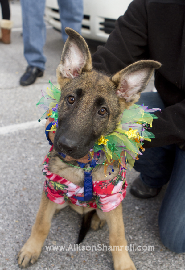 Pensacola Beach dogs pets parade Kritter Krawl Mardi Gras german shepherd puppy