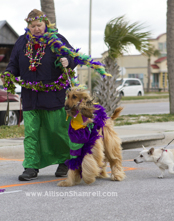 Pensacola Beach dogs pets parade Kritter Krawl Mardi Gras afghan hound  sc 1 st  San Diego Pet Photographer Allison Shamrell : mardi gras costumes for dogs  - Germanpascual.Com