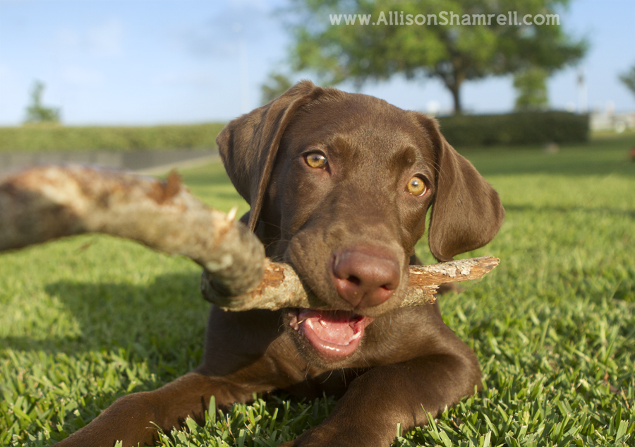 A chocolate lab puppy chews on a stick.