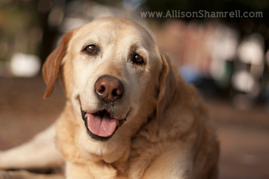 Old labrador that has passed away.