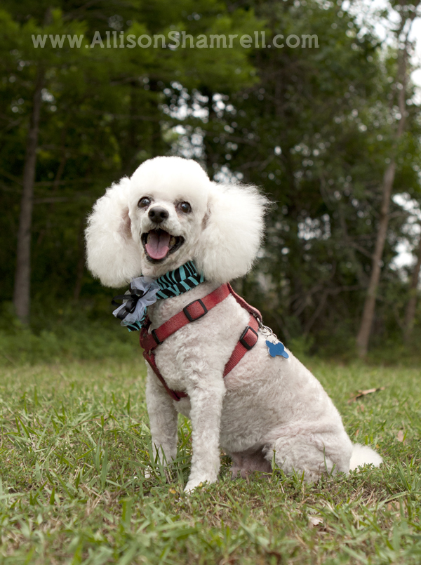 Miniature poodle who has passed away.