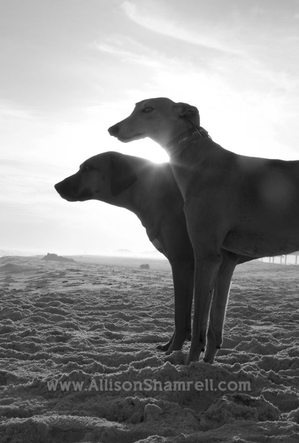 A greyhound and a Rhodesian ridgeback on the beach, silhouettes in black and white.