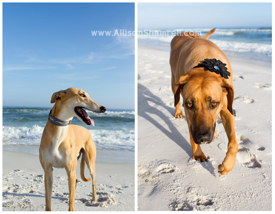 A greyhound and a Rhodesian ridgeback on the beach.