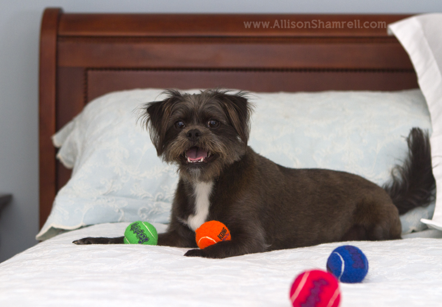 An affenpinscher mixed breed dog lays on her parents' beg with several tennis balls.