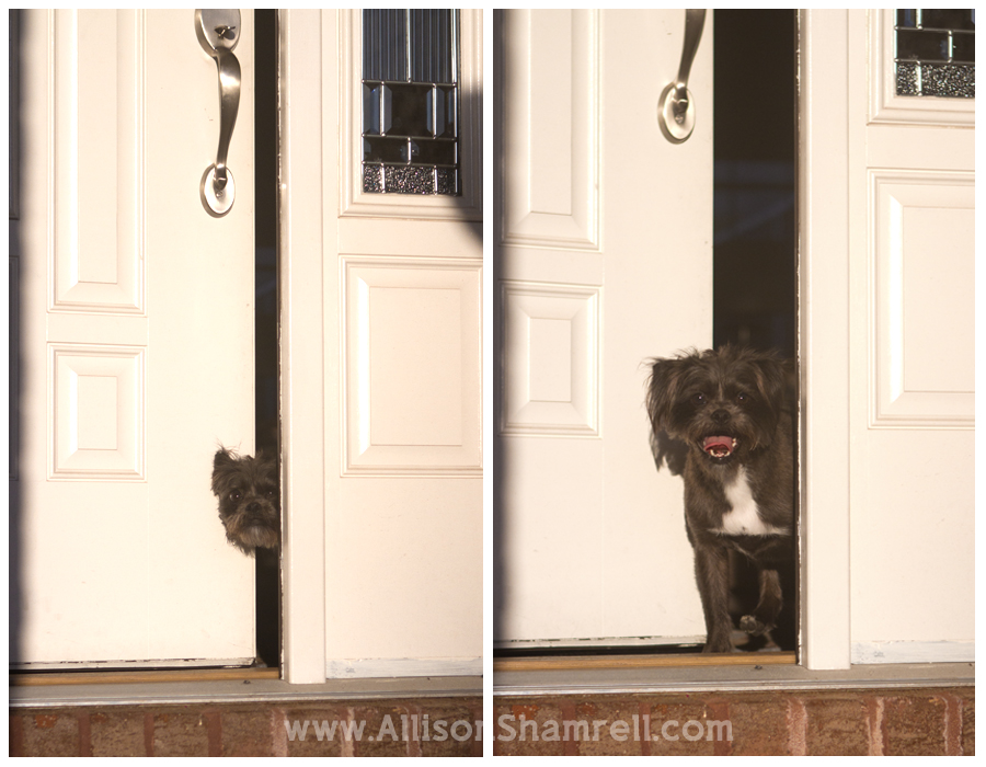 An affenpinscher mixed breed dog peeks out the front door.