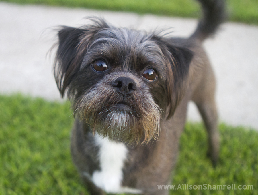 An affenpinscher mixed breed dog.