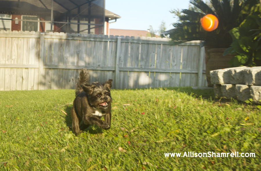 An affenpinscher mixed breed dog chases a tennis ball.