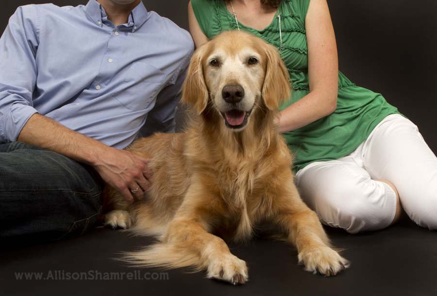 Senior golden retriever in the studio with her owners.