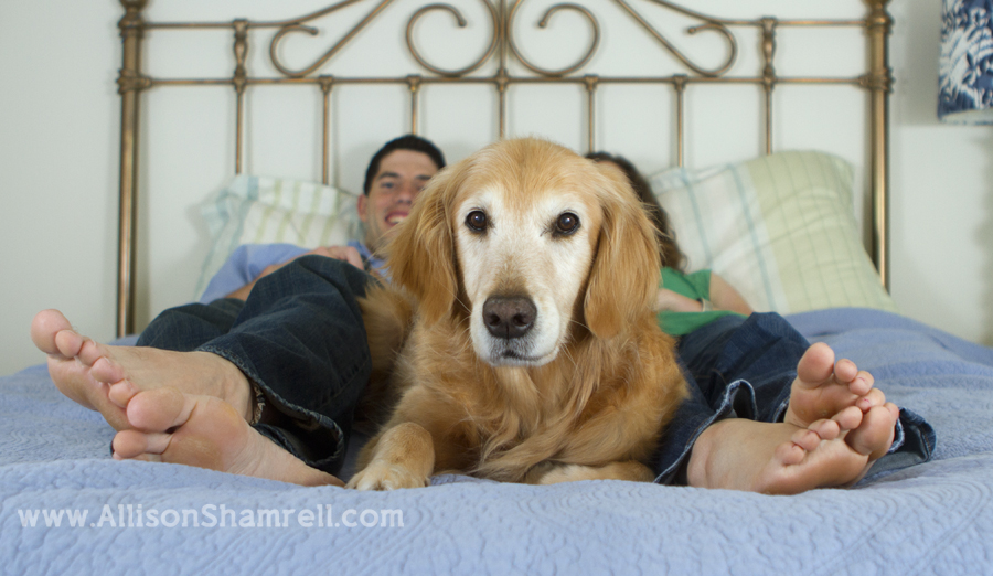 Senior golden retriever on a bed with her owners, next to their feet.