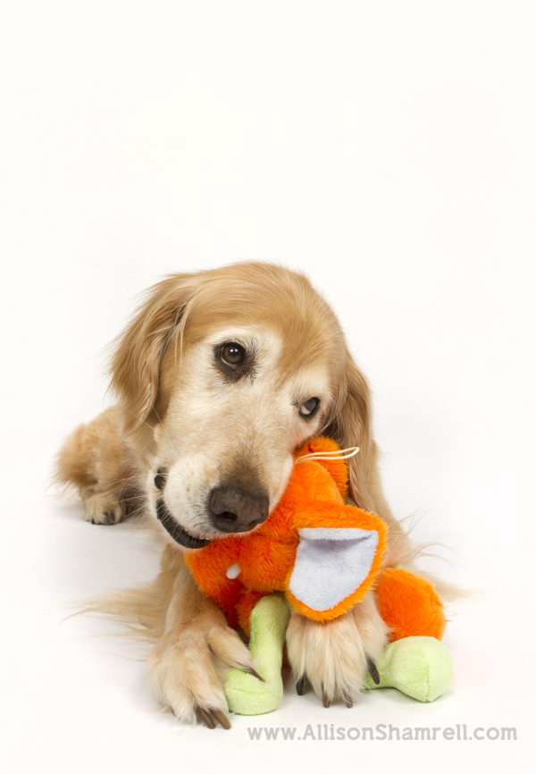 Senior golden retriever in the studio tearing up a toy.