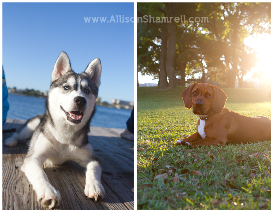 Dogs; a husky puppy on a dock and bassett hound/boxer mix in a park.