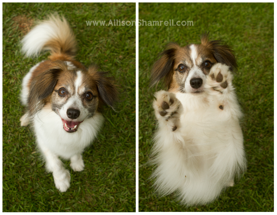 A papillon dog against grass, smiling and being playful.