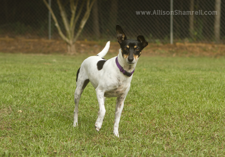 A rat terrier hunting in her backyard with her paw up.