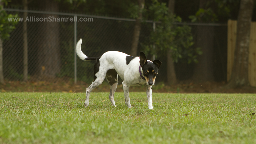 A rat terrier hunting in her backyard, looking intense.