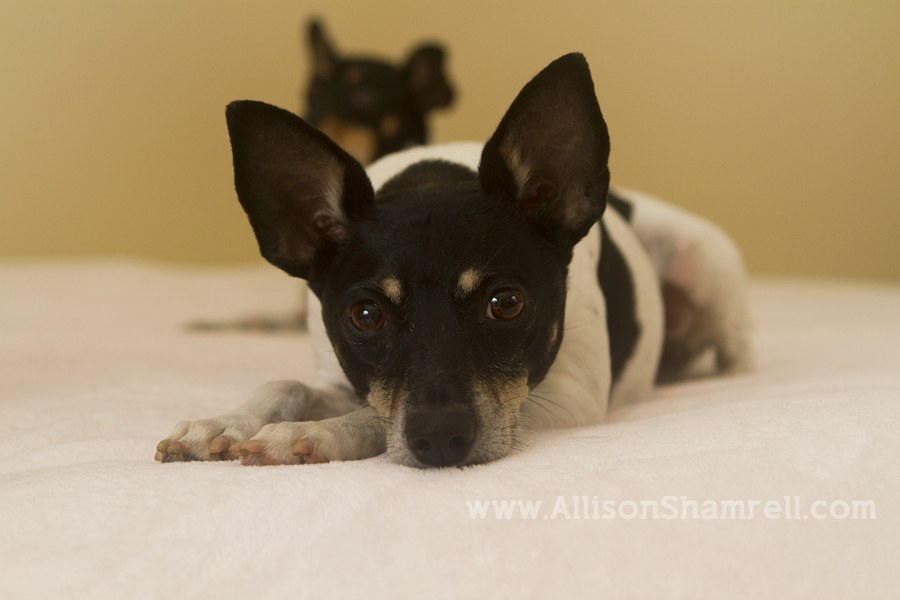 A rat terrier lays on a bed.