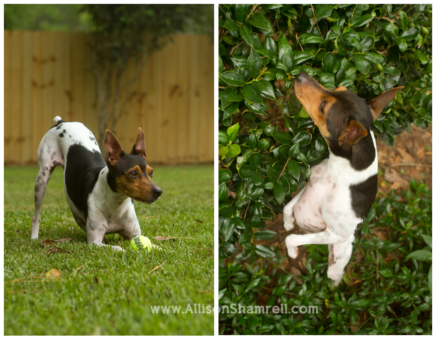 A rat terrier plays, guarding a ball and hunting in a bush.