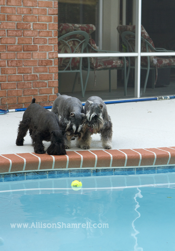 3 schanuzers look down at their tennis ball in the pool.