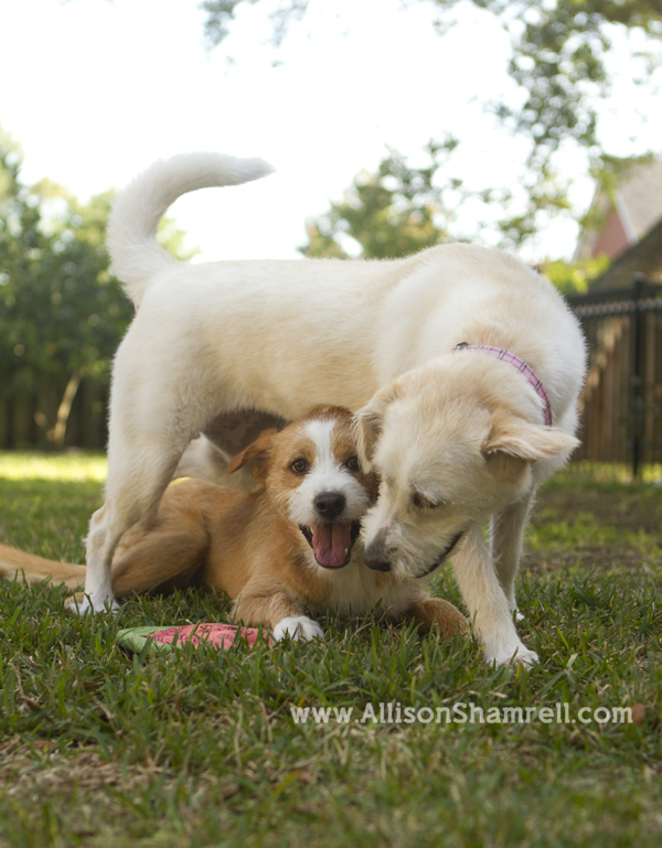 Two terrier labrador mixed breed dogs play in a backyard.
