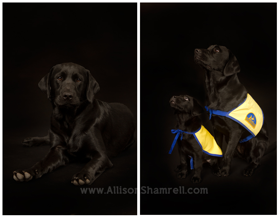 CCI service dogs, black lab mix and black lab puppy, on black studio backgrounds.