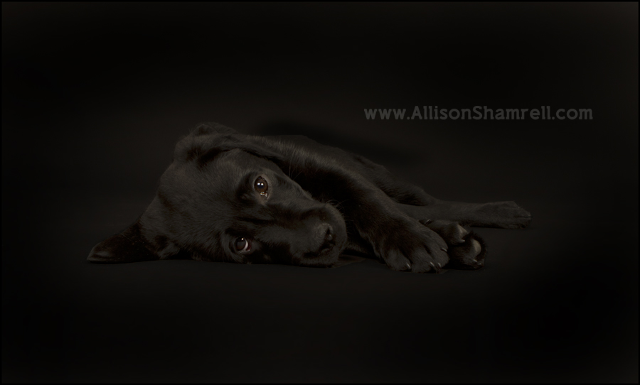 Black lab puppy laying down on black studio background.