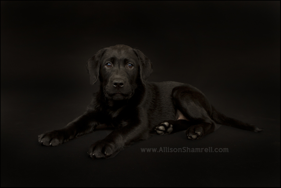 CCI service dog Florence, a black lab puppy, in the studio.