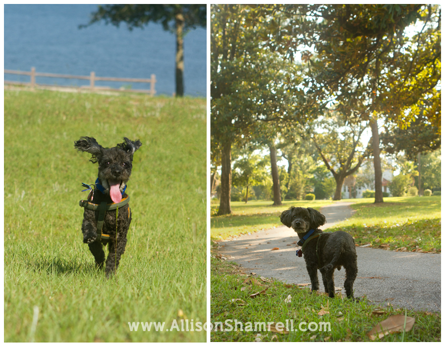 A poodle runs and poses in a pretty park.