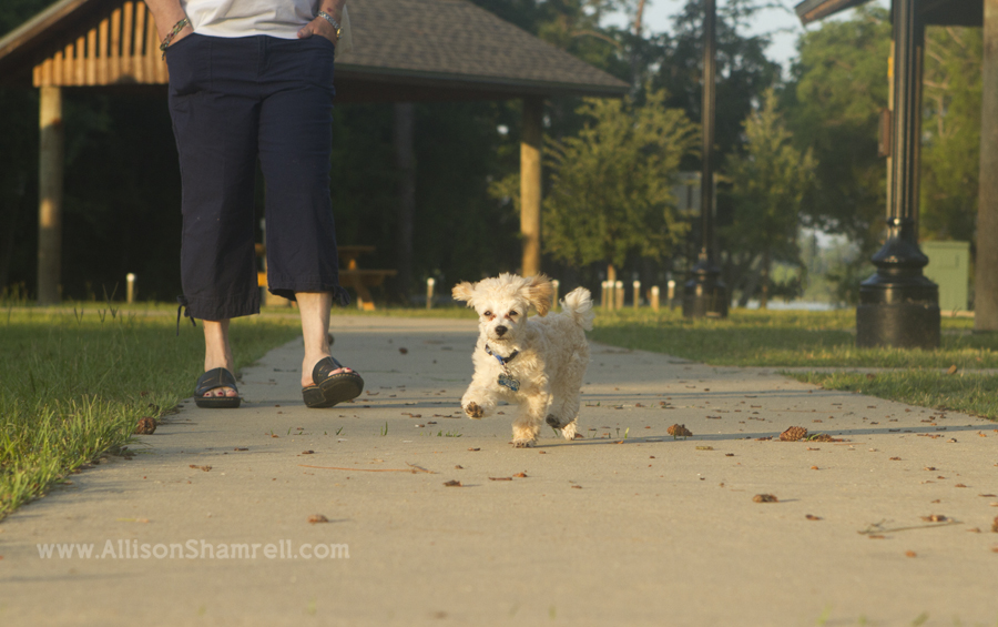 Poodle puppy walking along a path with his owner.