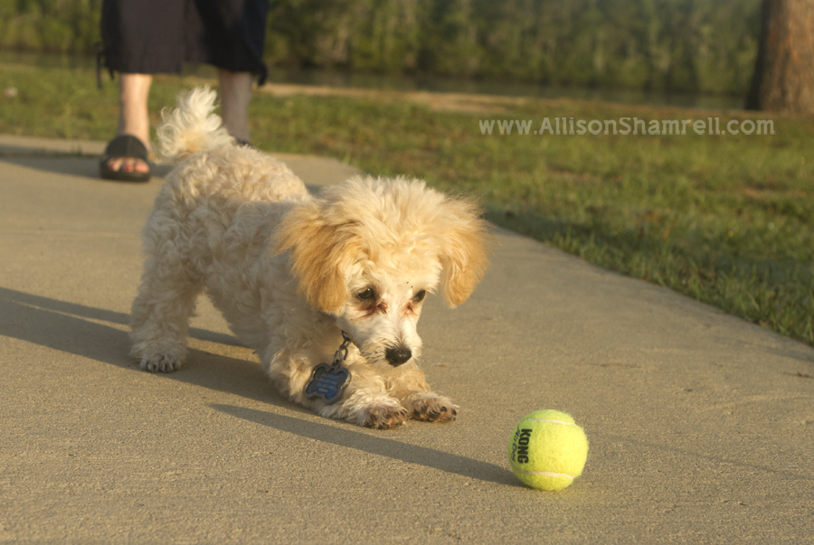 Poodle puppy playing with a tennis ball.