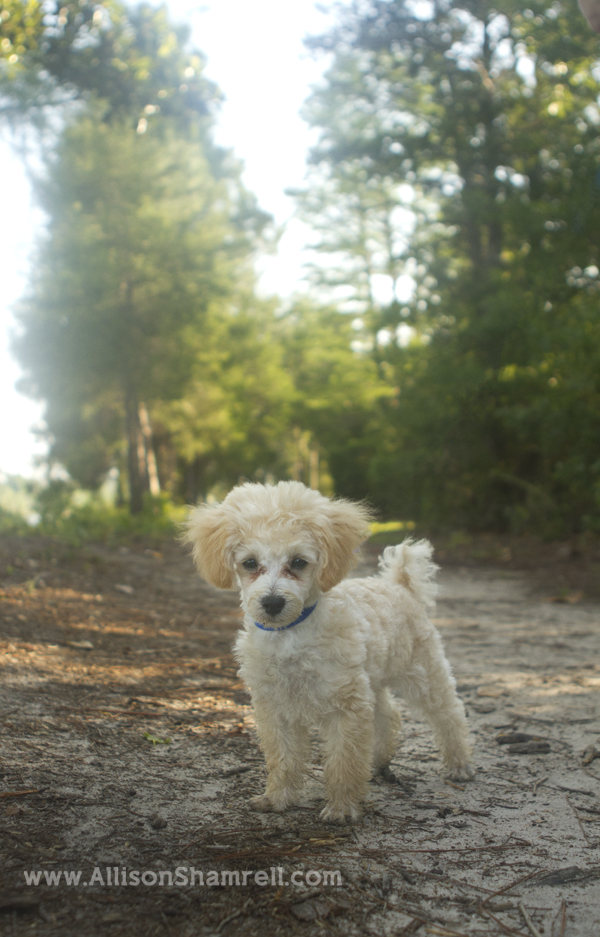 Poodle puppy standing near a woodsy path.
