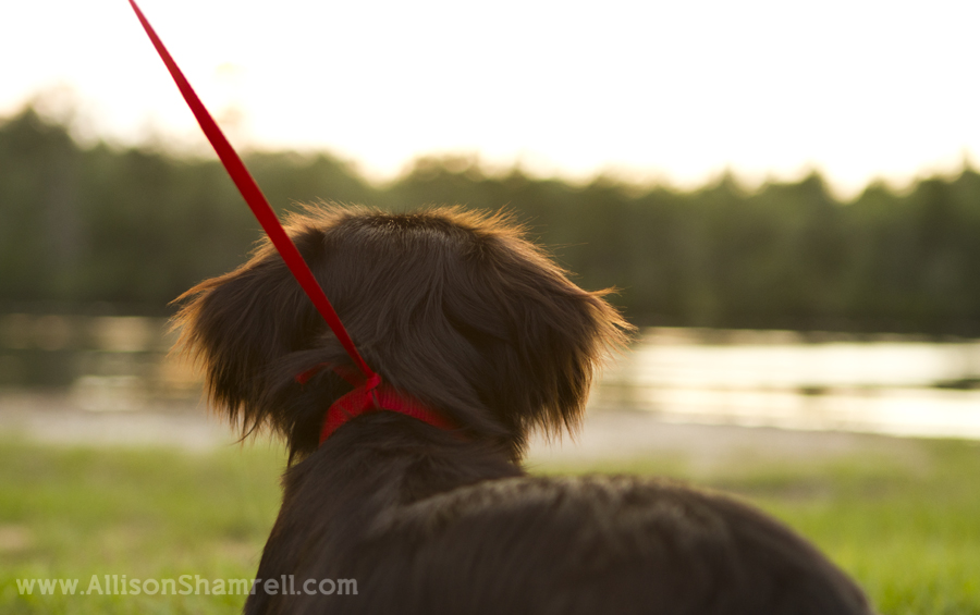 Dachshund looking out on water and trees, with a chewed-through leash.
