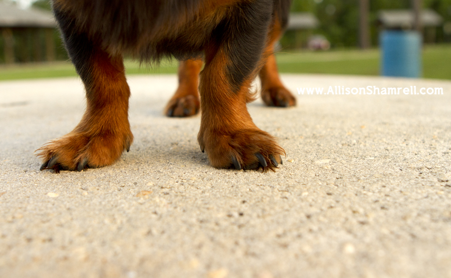 Close up photo of a long haired dachshund's paws.