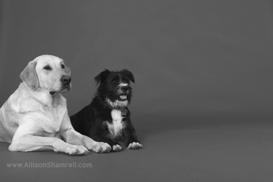 Yellow labrador and a terrier mix lay down in the studio.