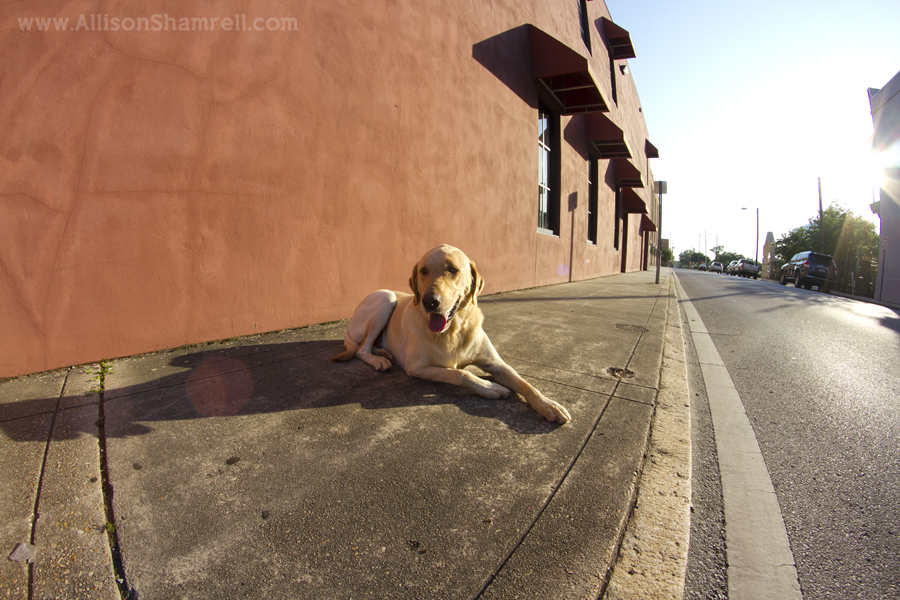 A yellow labrador relaxes on a street sidewalk, taken with a fisheye lens.