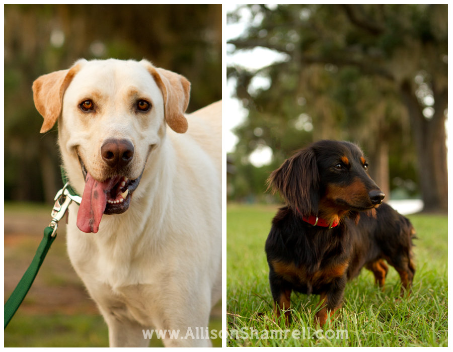 A labrador with a goofy smile and a long-haired dachshund.