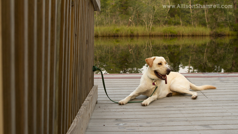 A yellow lab tied to a dock with trees in the background.