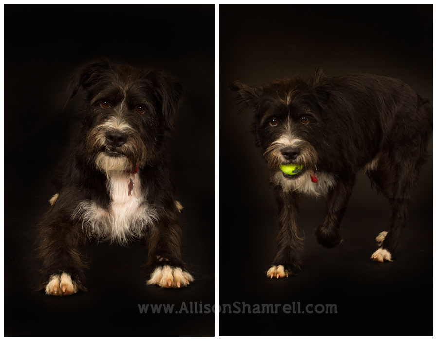 A scruffy terrier mix in the studio on a black background.