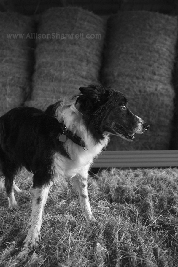 A black and white photo of a border collie standing on hay bales in a barn.