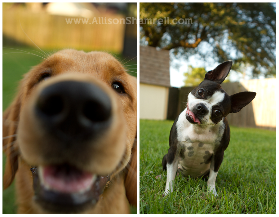 A boston terrier and a golden retriever dog in their backyard, close-up.