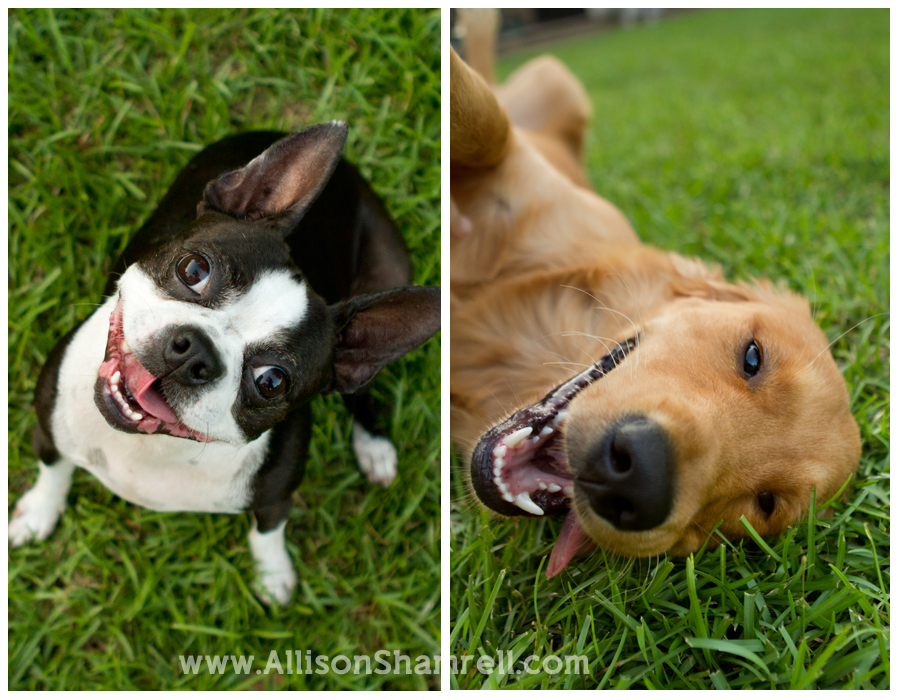 A boston terrier and golden retriever relax in the grass.