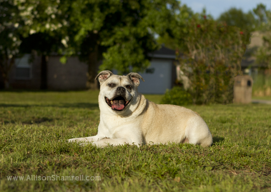 A bulldog pug mixed breed dog lays in the front yard and smiles.
