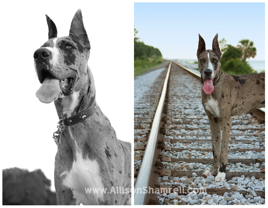 A great dane dog stands regally on railroad tracks.