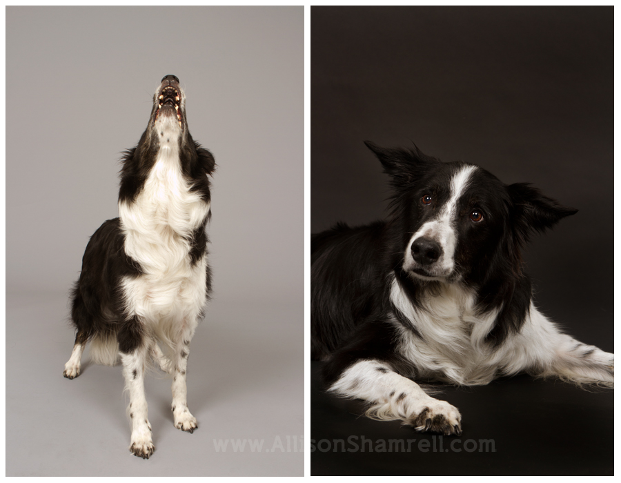 An old border collie dog barks and lays down in the studio.