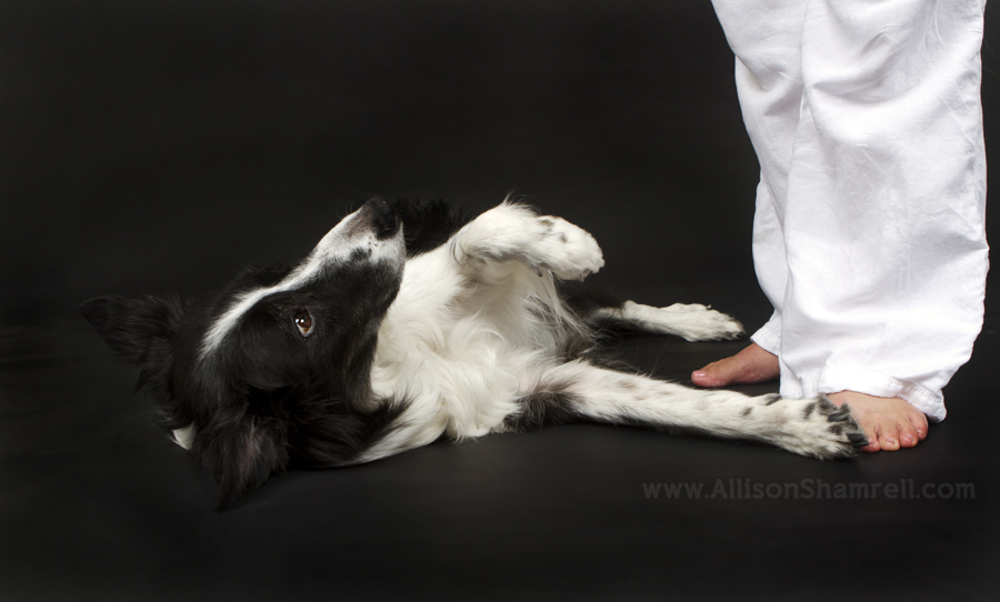 An old border collie dog lays down in the studio and looks up at his owner.
