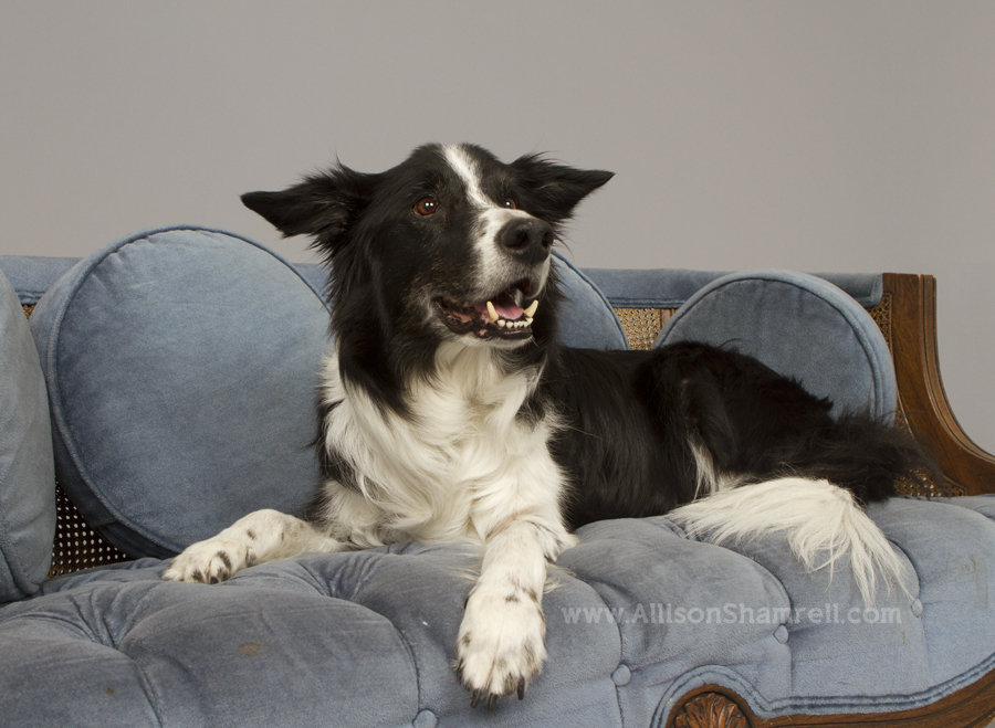 An old border collie dog relaxes on a couch in the studio and smiles.