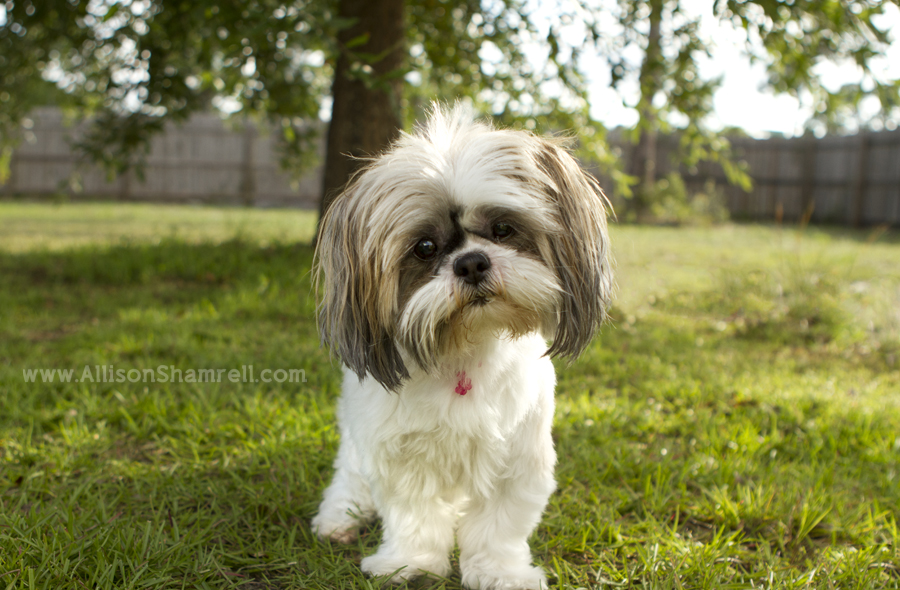 A shih tzu dog stands in a back yard and looks at the camera.