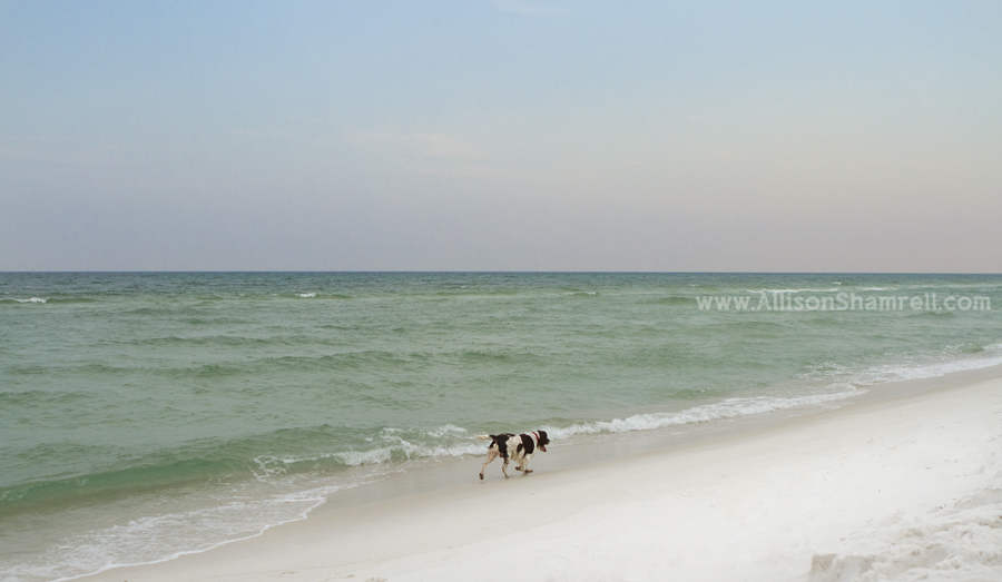An English springer spaniel trots along the water of Pensacola Beach.