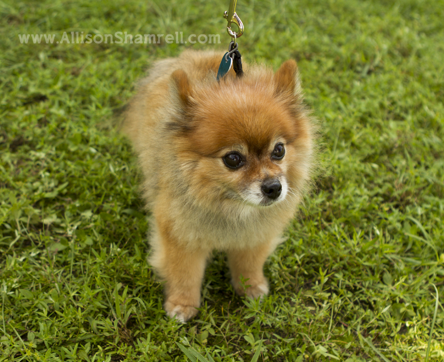 Photo of a dog at Dog Days of Summer 2012 in Milton, Florida.