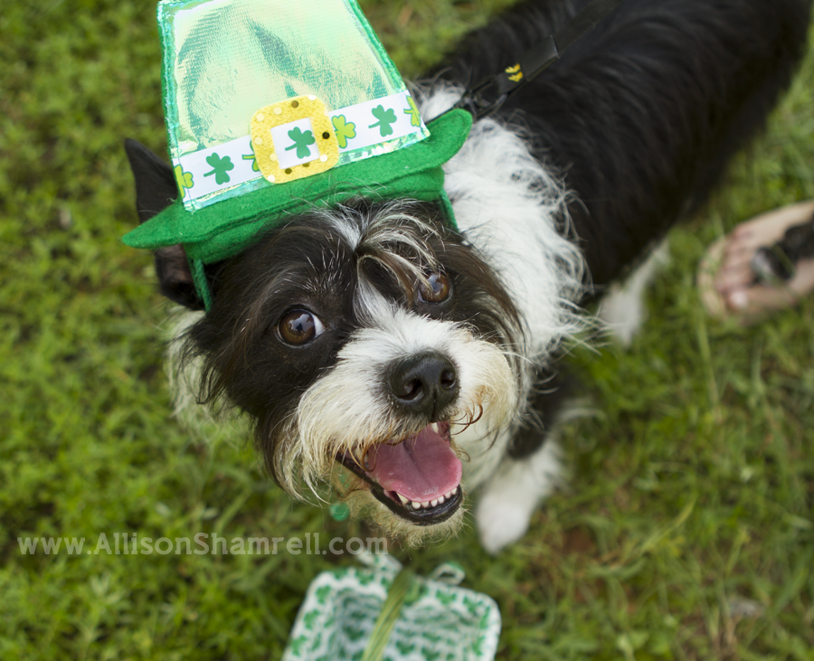 St. Patrick's Day-themed photo of a dog at Dog Days of Summer 2012 in Milton, Florida.