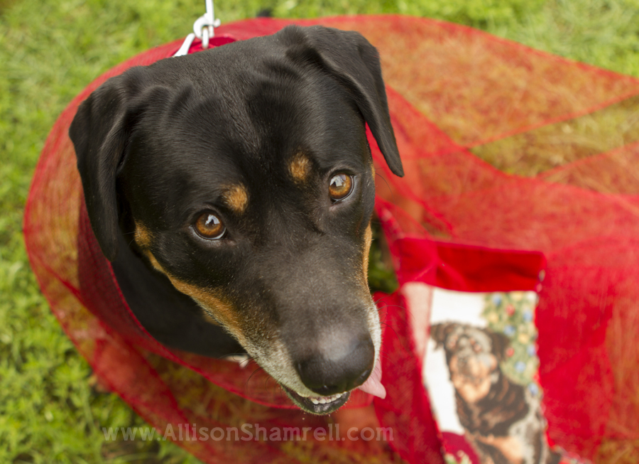 Christmas-themed photo of a dog at Dog Days of Summer 2012 in Milton, Florida.